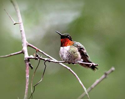 Photograph - Img_7183 - Ruby-throated Hummingbird by Travis Truelove