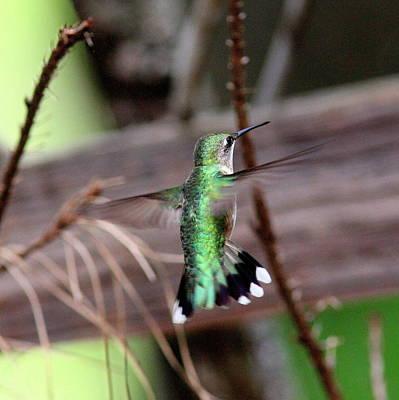 Photograph - Img_7226 - Ruby-throated Hummingbird by Travis Truelove