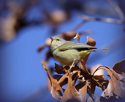 Photograph - Img_7413-003 - Orange-crowned Warbler by Travis Truelove