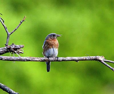Photograph - Img_7434-002 - Eastern Bluebird by Travis Truelove