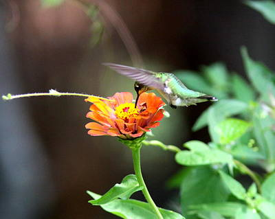 Photograph - Img_7753 -  Ruby-throated Hummingbird by Travis Truelove