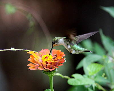 Photograph - Img_7761 - Ruby-throated Hummingbird by Travis Truelove