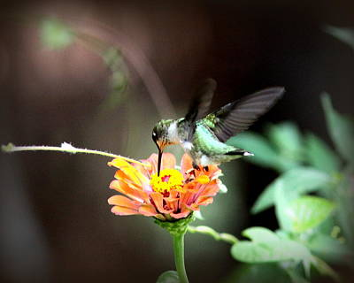 Photograph - Img_7766-004 -  Ruby-throated Hummingbird by Travis Truelove