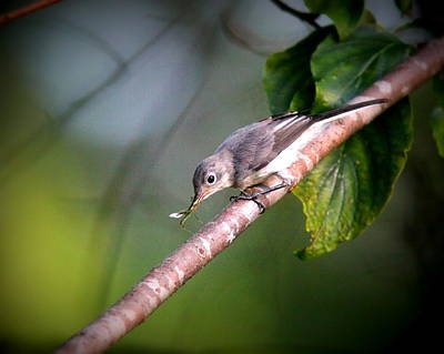 Photograph - Img_7831-001 - Blue-grey Gnatcatcher by Travis Truelove