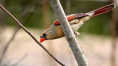 Photograph - Img_7873 - Northern Cardinal by Travis Truelove