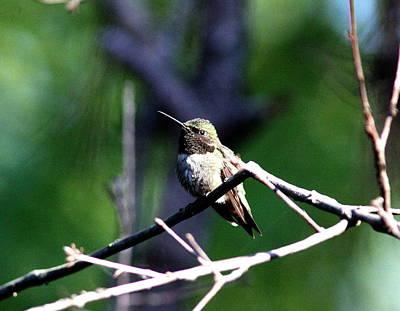 Photograph - Img_7954-001 - Ruby-throated Hummingbird by Travis Truelove