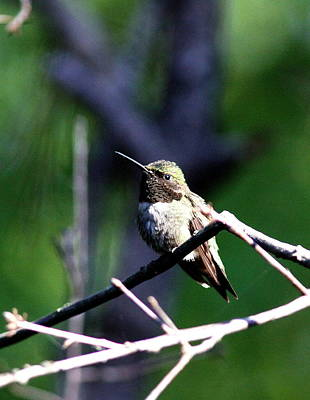 Photograph - Img_7954-002 - Ruby-throated Hummingbird by Travis Truelove