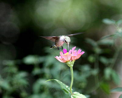 Photograph - Img_8045 -  Ruby-throated Hummingbird by Travis Truelove