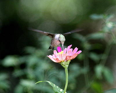 Photograph - Img_8058-003 -  Ruby-throated Hummingbird by Travis Truelove