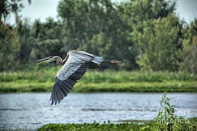 Photograph - Img_8106_blue Heron by Randy Matthews
