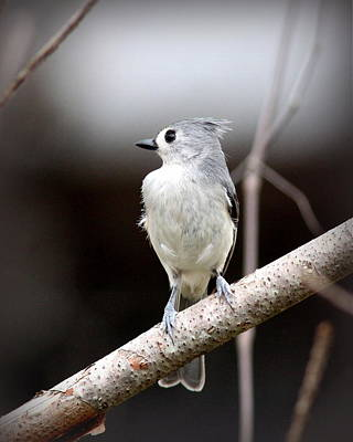 Photograph - Img_8120 - Tufted Titmouse by Travis Truelove