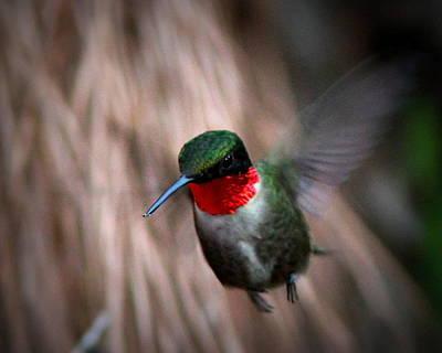 Photograph - Img_8125 - Ruby-throated Hummingbird by Travis Truelove