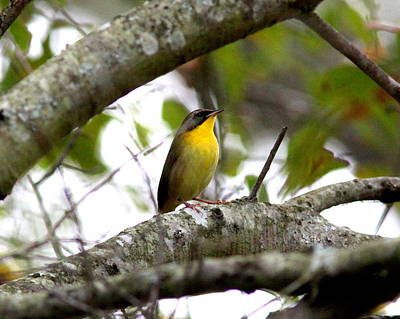 Kids Cartoons - IMG_8369 - Common Yellowthroat by Travis Truelove