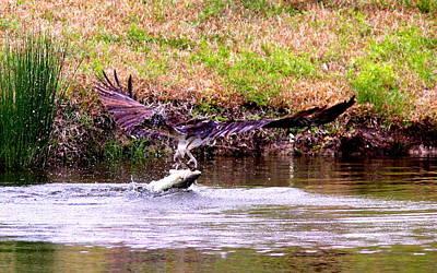Photograph - Img__8385-002 - Osprey by Travis Truelove