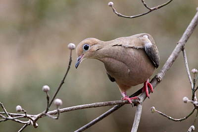 Photograph - Img_8389 - Mourning Dove by Travis Truelove