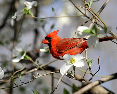 Photograph - Img_8499-003 - Northern Cardinal by Travis Truelove