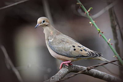 Photograph - Img_8525 - Mourning Dove by Travis Truelove