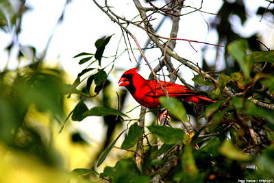 Photograph - Img_8559-001 - Northern Cardinal by Travis Truelove