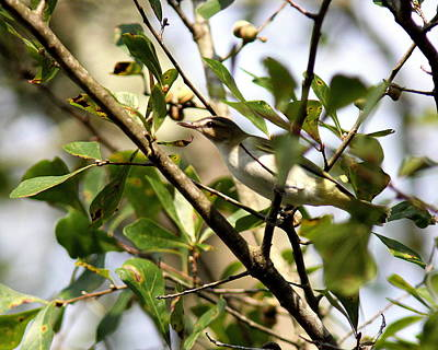 Photograph - Img_8580-001 - Red-eyed Vireo by Travis Truelove