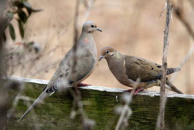 Photograph - Img_8596 - Mourning Dove by Travis Truelove