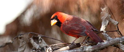 Photograph - Img_8599 - Northern Cardinal by Travis Truelove