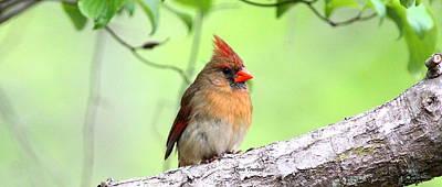 Photograph - Img_8650 - Northern Cardinal by Travis Truelove