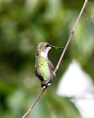 Photograph - Img_8671 - Ruby-throated Hummingbird by Travis Truelove