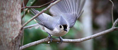 Photograph - Img_8787-002 - Tufted Titmouse by Travis Truelove