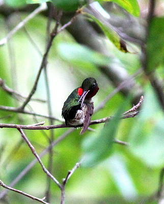 Photograph - Img_8808 - Ruby-throated Hummingbird by Travis Truelove