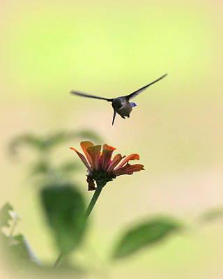 Photograph - Img_8874 - Ruby-throated Hummingbird by Travis Truelove