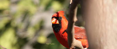 Photograph - Img_8884 - Northern Cardinal by Travis Truelove