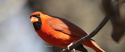 Photograph - Img_8906 - Northern Cardinal by Travis Truelove