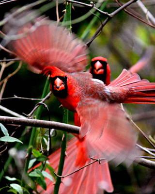 Photograph - Img_8935-001 - Northern Cardinal by Travis Truelove