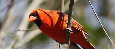 Photograph - Img_8996 - Northern Cardinal by Travis Truelove