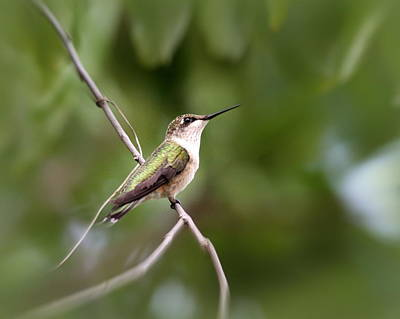 Photograph - Img_9000-002 - Ruby-throated Hummingbird by Travis Truelove