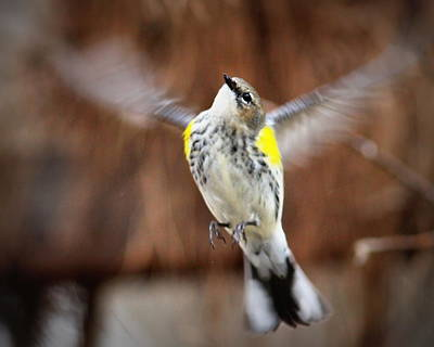 Photograph - Img_9372 - Yellow-rumped Warbler by Travis Truelove