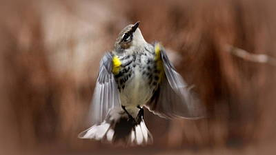 Photograph - Img_9487 - Yellow-rumped Warbler by Travis Truelove