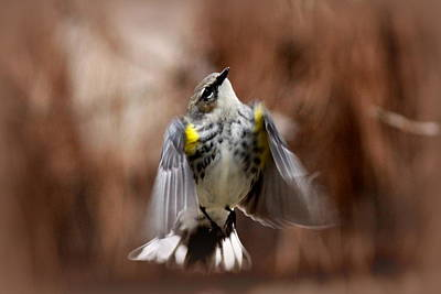 Photograph - Img_9487-002 - Yellow-rumped Warbler by Travis Truelove
