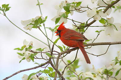 Photograph - img_9554-003 - Northern Cardinal by Travis Truelove