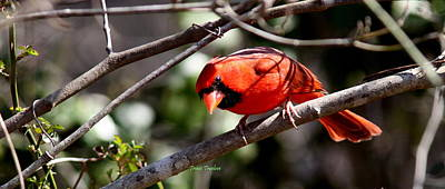 Photograph - Img_9591 - Northern Cardinal by Travis Truelove