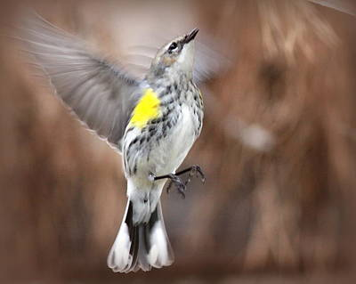 Photograph - Img_9606 - Yellow-rumped Warbler by Travis Truelove