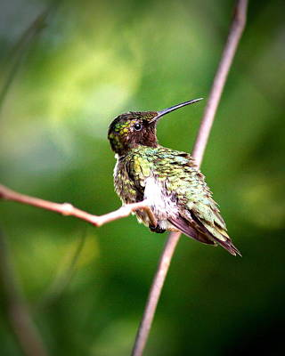 Photograph - Img_9627-002 - Ruby-throated Hummingbird by Travis Truelove