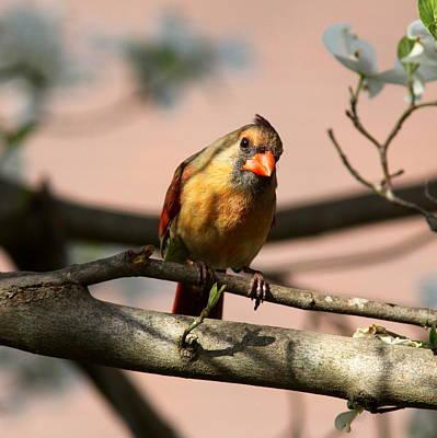 Photograph - Img_9631-001 - Northern Cardinal by Travis Truelove