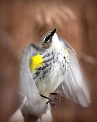 Photograph - Img_9649 - Yellow-rumped Warbler by Travis Truelove