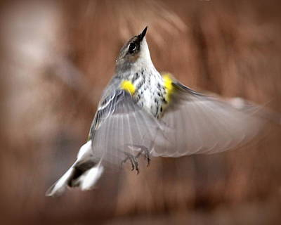Photograph - Img_9651- Yellow-rumped Warbler by Travis Truelove