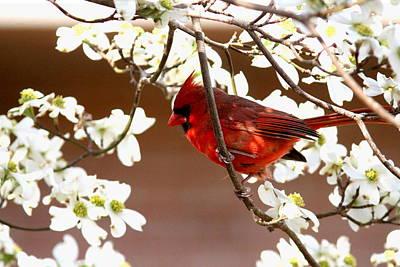Photograph - Img_9711-004 - Northern Cardinal by Travis Truelove
