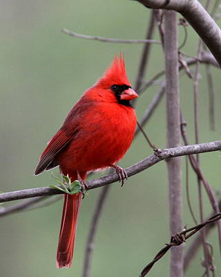 Photograph - Img_9796-004 - Northern Cardinal by Travis Truelove