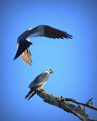 Mississippi Kite Photograph - Img_9801-002 - Mississippi Kite by Travis Truelove