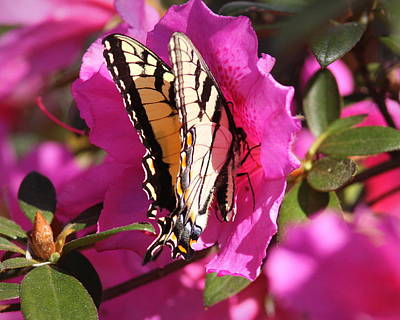 Photograph - Img_9911-003 - Tiger Swallowtail Butterfly by Travis Truelove