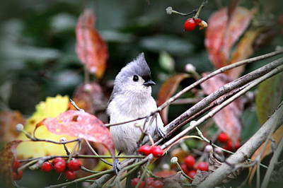 Photograph - Img_9977-004 - Tufted Titmouse by Travis Truelove